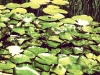 Frogs, Lily Pads, Lotus