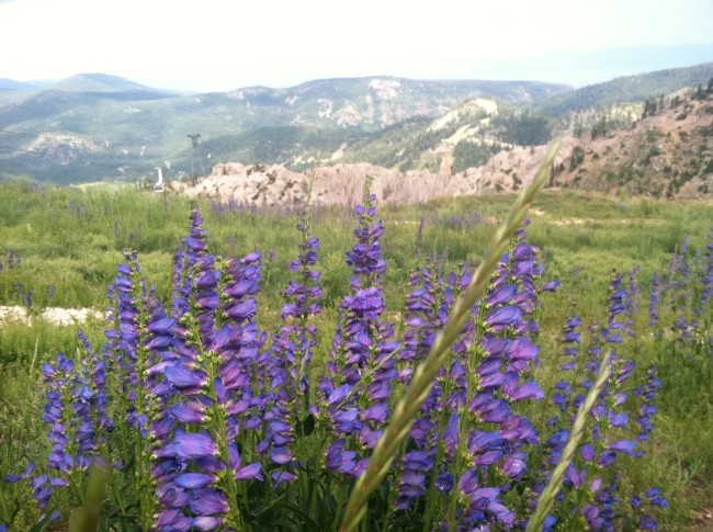 Wild Lupine at the top of Squaw